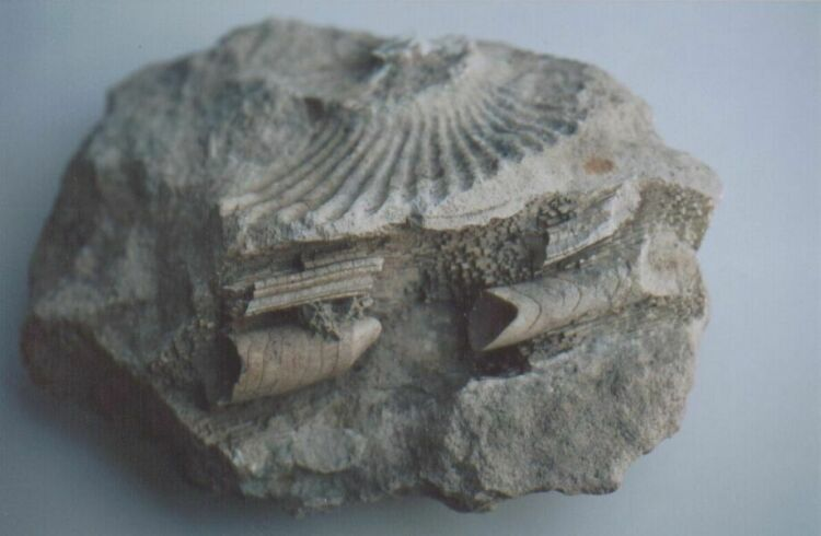 The History House - Unknown Fossils